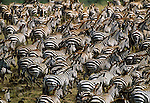 Grant's zebra herd migration, Masai Mara National Reserve, Kenya