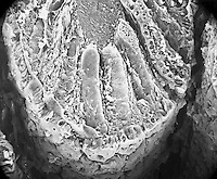 "The distribution of the numerous tubular intestinal mammal (rat) colon glands of the mucosa. The surface epithelium consists of a single layer of absorptive columnar epithelial cells and many goblet cells. The epithelial sheet is attached to the basal lamina.  SEM X242  3.5"" X 4.5""  **On Page Credit Required**"