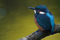 Kingfisher (Alcedo atthis) on perch. River Allier, Pont-du-Chateau, Auvergne, France.