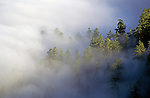 Redwood Creek overlook with giant redwoods sticking out above low clouds at sunrise Redwood National Park Northern California USA