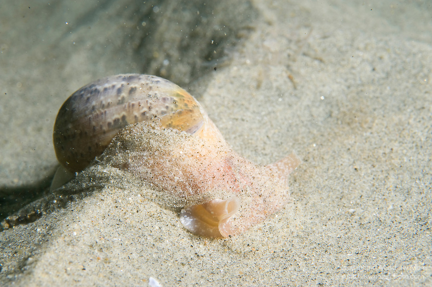 La Jolla Underwater Ecological Reserve, La Jolla, California; a California Bubble Snail (Bulla gouldiana) moves along the sandy bottom, this is the largest of the California bubble snails