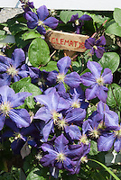 Blue flowers of Clematis Perle d'Azur climber vine with handmade plant sign of wood with hand printed in red
