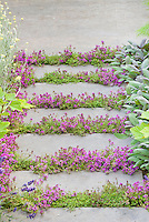 Thyme herbs in flower Thymus, in crevices and nooks and crannies of path stepping stones walkway with herbs and lettuce vegetables: rosemary Rosmarinus, Salvia officinalis, Lavandula lavender, dill, kale, patio, groundcover