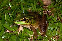 A frog in a Costa Rica rainforest.