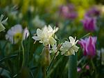 Spring in Sarah P. Duke Gardens.<br /> Daffodils<br /> <br /> Photo by Bill Snead/Duke Photography #dukephotoaday, #dukefacilities
