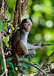 A baby Rhesus monkey (Macaca mulata)on watch for it's mother at Vanchet village, Savannachet province, Laos.