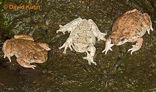 1124-0802  One Gray Tree Frog (Hyla versicolor) with Two  Red-spotted Toads (Bufo punctatus) © David Kuhn/Dwight Kuhn Photography