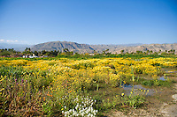 Desert wildflowers in foreground with back drop of mountains, palm trees and house being built