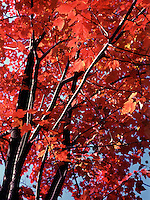 FALL FOLIAGE<br /> Red Leaves of Maples<br /> In the autumn, trees stop photosynthesis. As the green chlorophyll disappears from the leaves, yellow, orange and red become visable. Glucose in maple leaves turns red from sunlight and cool nights.