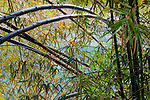 Bamboo lining the Li River, China