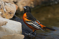 Adult males are flame-orange and black, with a solid-black head and one white bar on their black wings. Females and immature males are yellow-orange on the breast, grayish on the head and back, with two bold white wing bars.