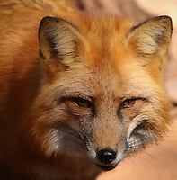 Sly Red Fox - Arizona<br />