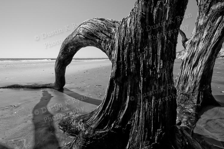 Old Tree Drift Wood on Folly Beach SC