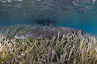 TH3971-D. American Crocodile (Crocodylus acutus), resting in seagrass in shallow channel between mangroves. This species inhabits both fresh and saltwater in the New World tropics, found throughout the Caribbean, southern Mexico, Central America, northern South America, and southern Florida, USA. It is endangered in parts of its range, and vulnerable to exploitation in many places. Thankfully, it is protected in the Jardines de la Reina national park in Cuba. Caribbean Sea.<br /> Photo Copyright &copy; Brandon Cole. All rights reserved worldwide.  www.brandoncole.com