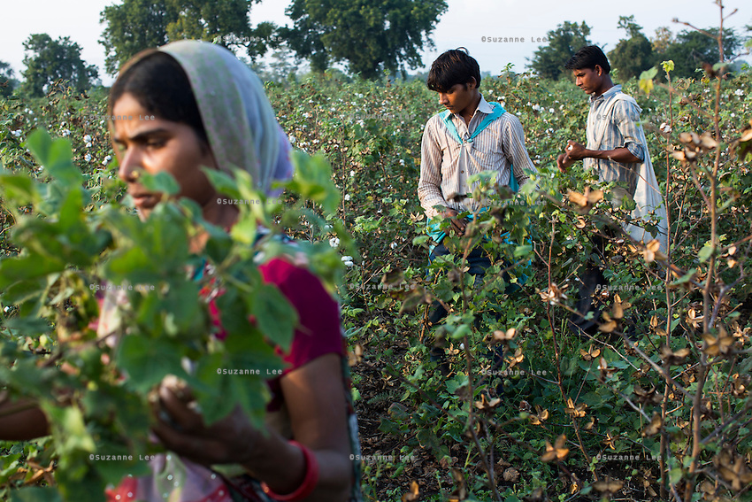 A family of farm labourers pick Fairtrade cotton in Narendra Patidar's farm in Karhi, Khargone, Madhya Pradesh, India on 12 November 2014. Although their family member also owns a farm, they work as labourers in other farms when there is nothing to do in their family farm. Each labourer gets paid 5 rupees per kilogram and can pick up to 40kg per day. Photo by Suzanne Lee for Fairtrade