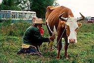 Cuba, march 1992: A tobacco farmer  milking a cowand smoking his own cigar near Vinales, Cuba.