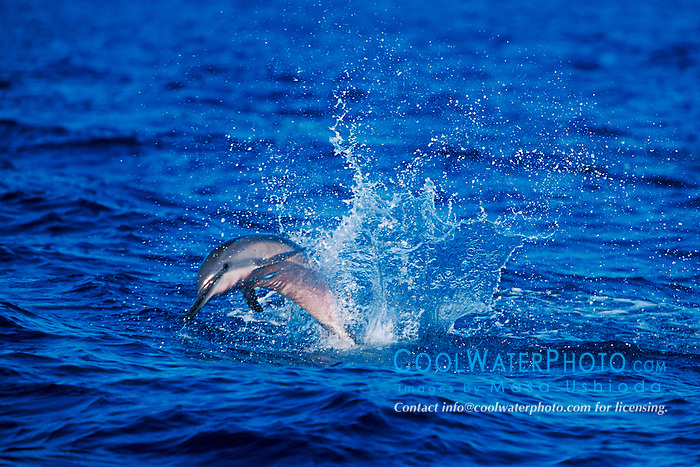 long-snouted spinner dolphin calf jumping, Stenella longirostris, Kona, Big Island, Hawaii, Pacific Ocean.