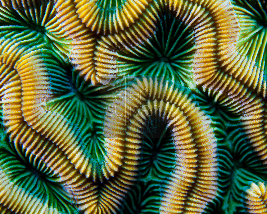 Grooved brain coral, Roatan