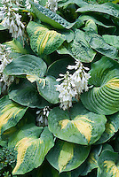 Hosta Dream Queen with white flowers