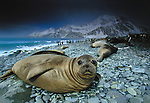 Southern Elephant Seal, South Georgia Island, UK