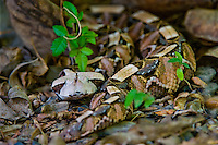 489250005 a captive gaboon viper bitis gabonica sits coiled in leaf litter species is a ground dwelling deadly viper it is the heaviest and has the longest fangs of any viperid and is native to western sub-saharan africa