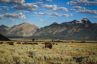 Oh give me a Home - Wyoming - Bison heard - Grand Teton NP