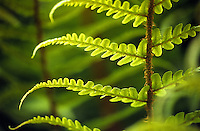 Delicate Fern Fronds glow with the light of the sun.