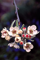 Branch of blossoms and flower buds of Weeping willow-leaved pear at Van Dusen Botanical Garden, Vancouver, BC