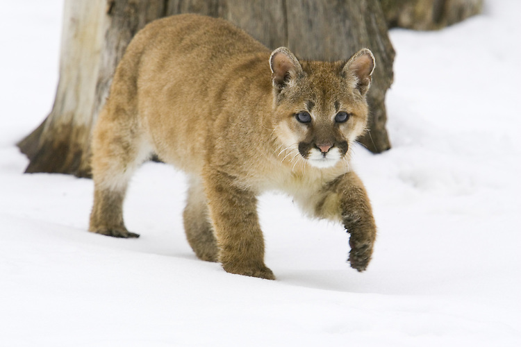 Puma kitten walking across the snow - CA