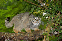 Manul or Pallas's Cat (Otocolobus manul) adult on branch.