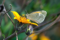 Dwarf Yellow Sulphur Butterfly