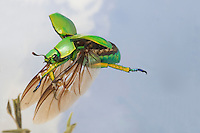 Jewel Beetle in flight (Chrysina woodi), Texas, USA