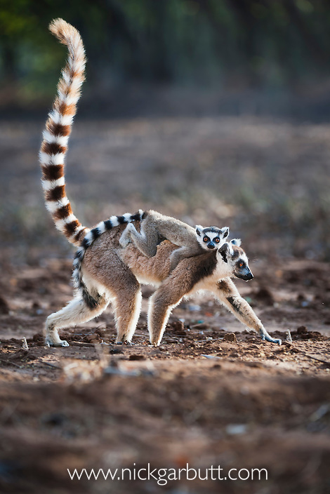 Adult female Ring-tailed Lemur (Lemur catta) carrying her infant (4-5 weeks of age) across an open area within the forest. Gallery forest, Berenty Reserve, southern Madagascar.