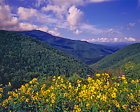 Sunflowers & Southern Applachians on a Rare Clear Day after a Summer Storm, Highest point East of the Mississippi, Blue Ridge Parkway Near Mount Mitchell, North Carolina