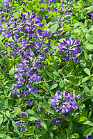 Baptisia x Purple Smoke in spring flower