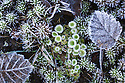 Frost-covered mosses and lichens on area of moorland. Peak District National Park, Derbyshire, UK. December.
