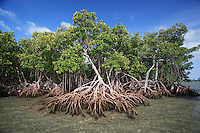 qa0044-D. mangroves (Rhizophora sp.). Key Biscayne, Florida, USA, Atlantic Ocean..Photo Copyright © Brandon Cole. All rights reserved worldwide.  www.brandoncole.com..This photo is NOT free. It is NOT in the public domain. This photo is a Copyrighted Work, registered with the US Copyright Office. .Rights to reproduction of photograph granted only upon payment in full of agreed upon licensing fee. Any use of this photo prior to such payment is an infringement of copyright and punishable by fines up to  $150,000 USD...Brandon Cole.MARINE PHOTOGRAPHY.http://www.brandoncole.com.email: brandoncole@msn.com.4917 N. Boeing Rd..Spokane Valley, WA  99206  USA.tel: 509-535-3489