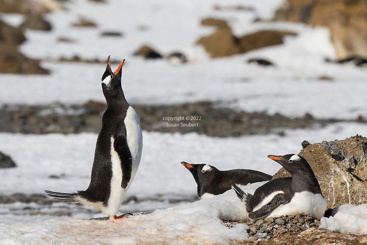 A gentoo penguin vocalizing. Penguin Colony at Brown Bluff, Antarctic Sound, Antarctica
