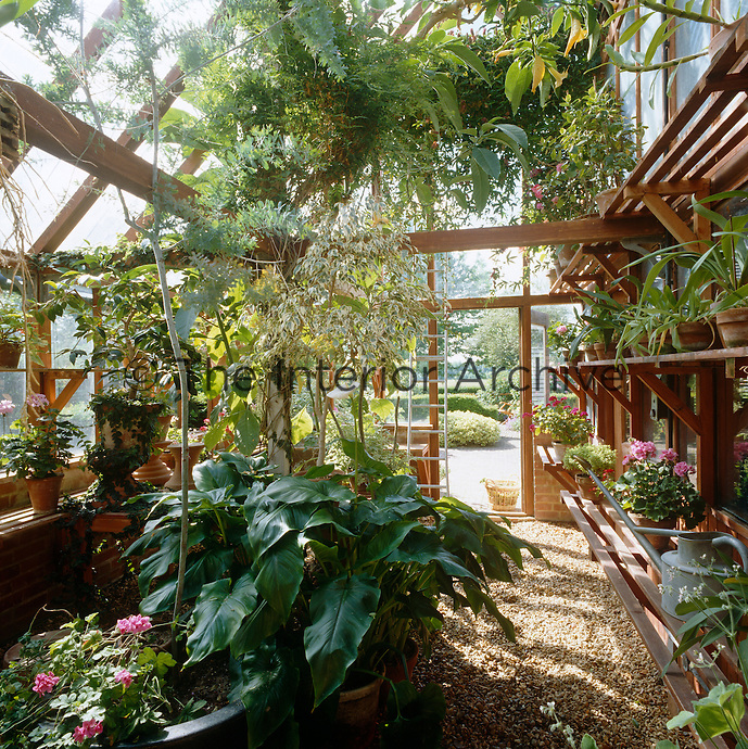Slatted wooden shelves in the greenhouse are filled with plants, geraniums and pelargoniums