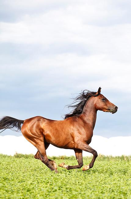 .::Ficha de Shiny::. Bay-Arabian-horse-galloping-under-blue-sky-vertical-arab-sky7443