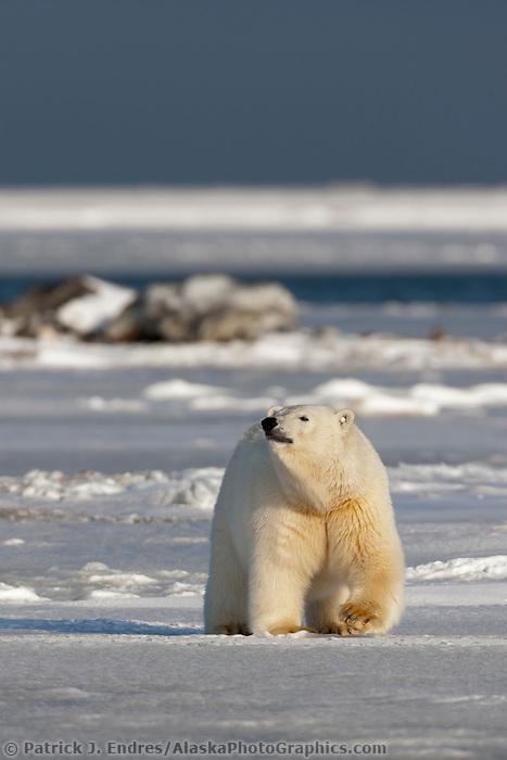 Polar bear, Beaufort sea, Barter Island, Arctic National Wildlife Refuge, Alaska