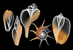 X-ray blend study of five smooth shells (on black) by Jim Wehtje, specialist in x-ray art and design images.