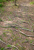 Tree roots, shallow, showing above ground, exposed roots in dry shade garden problem soil
