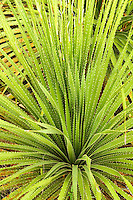 187550001 a detailed view of the spiny leaves of the texas sotol plant dasylirion texanum in the texas hill country in central texas