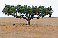 Dry, barren fields with oak trees. Herdade da Malhadinha Nova, Alentejo, Portugal