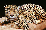 Jaguar, South America (captive)