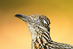 Greater Roadrunner closeup