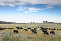 Bisons in Custer State Park, Buffalo, Black Hills, near Hermosa, South Dakota, USA