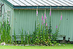 Purple foxglove set against a rustic garden shed on Washington State's Orcas Island.