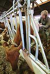 Foto: VidiPhoto<br /> <br /> DODEWAARD - Bij de eerste melkveehouders is de koeienkapsalon weer geopend. Melkveehouder Jan-Willem van Rooijen scheert woensdag samen met zijn hulp Corn&eacute; van Mourik de eerste koeien. Omdat de dieren vanaf zaterdag de hele winter op stal staan, moet hun warme jas uit. Bovendien is het korte kapsel een stuk hygi&euml;nischer dan een harig model. Mooi geschoren is niet lelijk. Terwijl de meeste boeren een koeienkapper inhuren, doet Van Rooijen het liever zelf. &quot;Het is leuk werk en bovendien bespaar ik hiermee zo'n 1000 euro.&quot; Van Rooijen heeft 140 melkoeien en het laten scheren kost ongeveer 7 euro per koe. Het scheren van de hele veestapel kost ongeveer vier werkdagen. Daarom doen Jan-Willem en Corn&eacute; dat tussen de boerenbedrijven door. Foto: Boerin Gerdi van Rooijen scheert haar eerste koe, de lakenvelder Cato.
